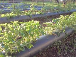 Piantine di Pomodori in fase di crescita